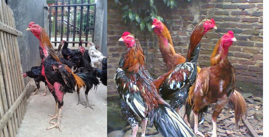 Bandar Ayam Kampung