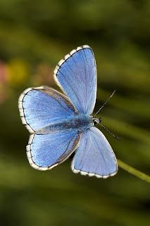 Para ampliar Polyommatus bellargus macho (anverso) hacer clic