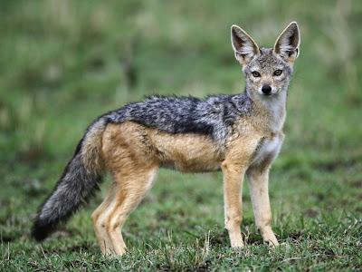 Jackals HD Wallpapers