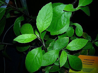 Gynura-procumbens-plants-anti-cancer-02