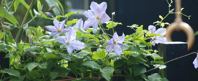 Bind klatreplanter fast inder ferietid