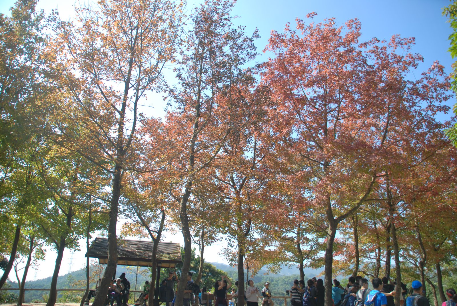 Autumn Leaves @Tai Tong 大棠紅葉