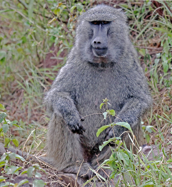 Buy stretched canvas print of Baboon
