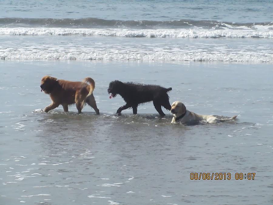 Hunde am Strand von Buena Vista Costa Rica