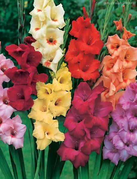 simple petals  floral dreams  gladiolus