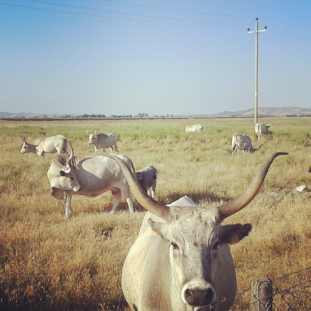 A cose-up of the white and wide horned Maremma cows in summer