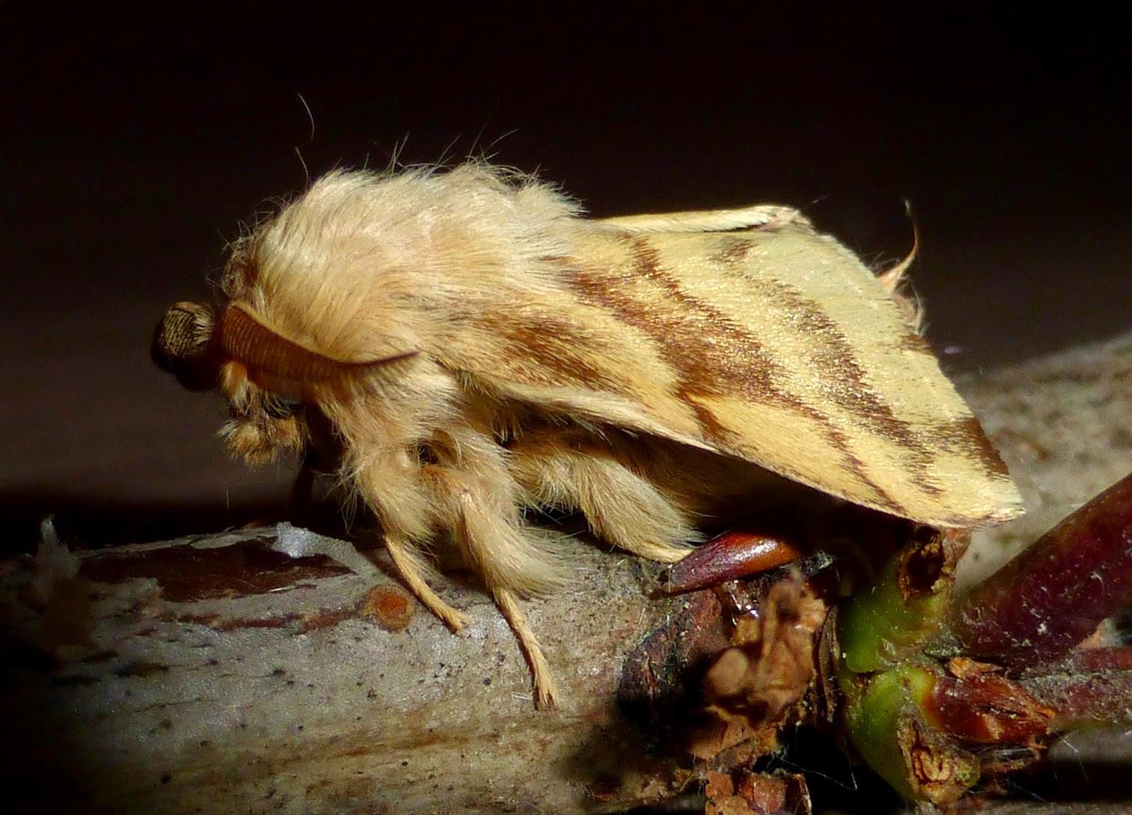Malacosoma castrensis male
