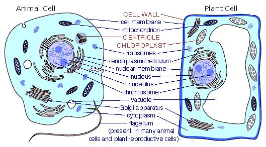 animal cell and its functions. simple animal cell with