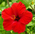 Hibiscus flowers herb tea diet