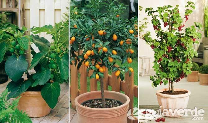 C mo hacer un cultivo ecol gico casero en macetas for Arboles frutales en maceta