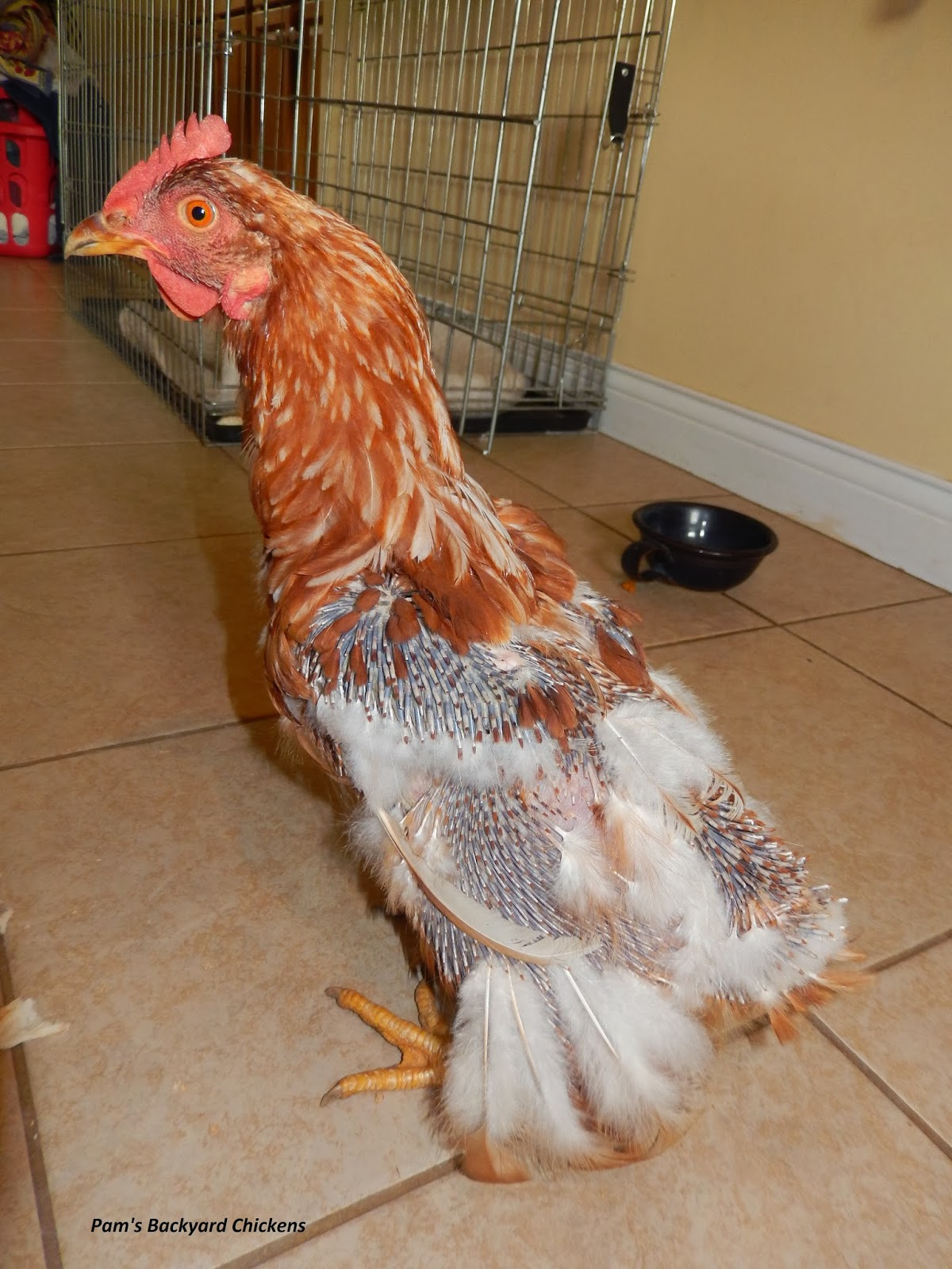 pam u0027s backyard chickens 2013