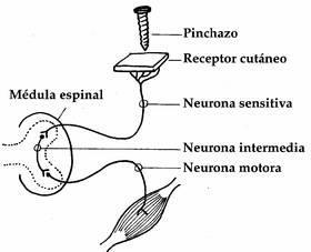 Medula espinal arco reflejo pdf