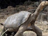 Binatang Langka Tinggal Satu di Dunia