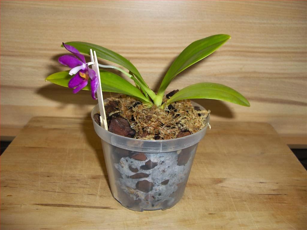 Attractive Rinvaso Di Orchidea Phalaenopsis Pulchra In Bark E Sfagno.