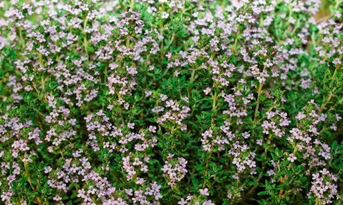 plantas medicinales, propiedades del tomillo