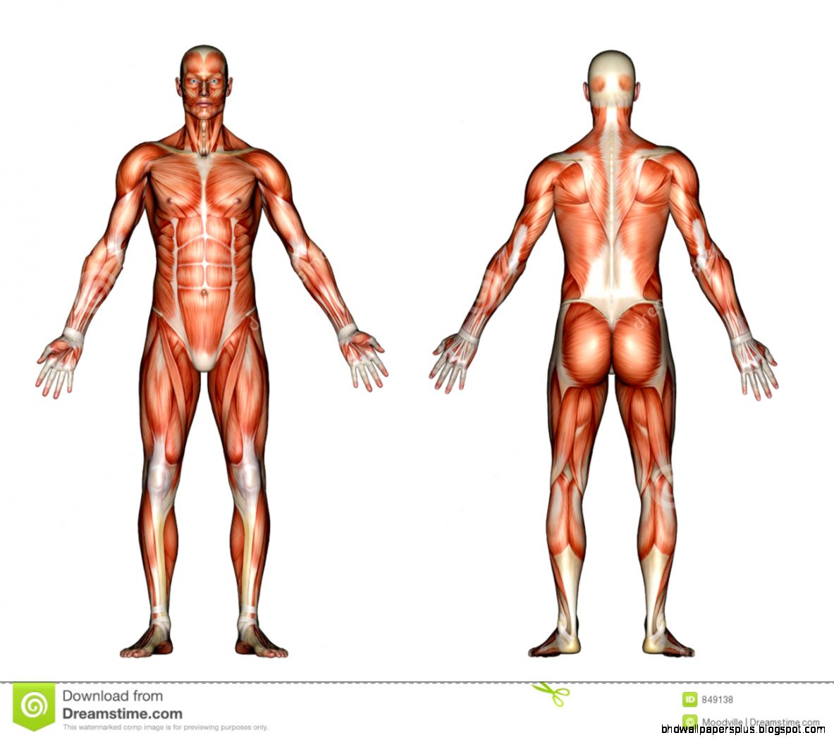 Illustration   Male Anatomy Royalty Free Stock Photos   Image 849138