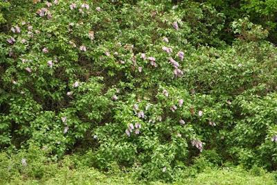 early June 2014 lilacs in bloom