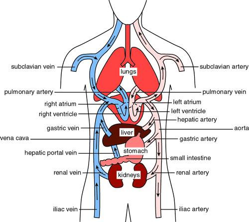 Circulatory System on Circulatory System Worksheets For Kids