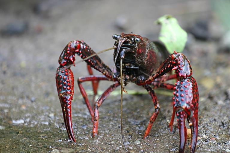 Crayfish | Life of Sea