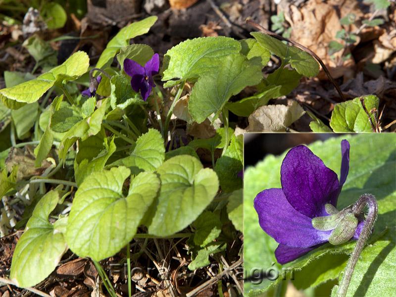 Flora de Arag�n: Viola odorata