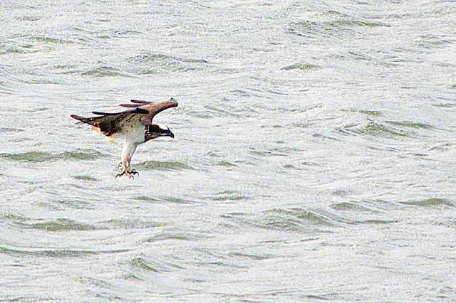 osprey, diving for fish, Kin Dam, talons extended