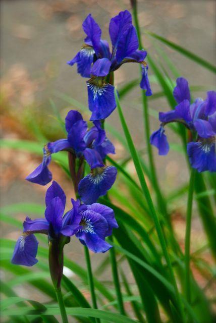 Blue Siberian irises grow from rhizomes