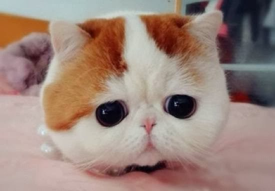 Snoopybabe, the Cute Flat-Faced Cat Taking the Chinese Internet by Storm