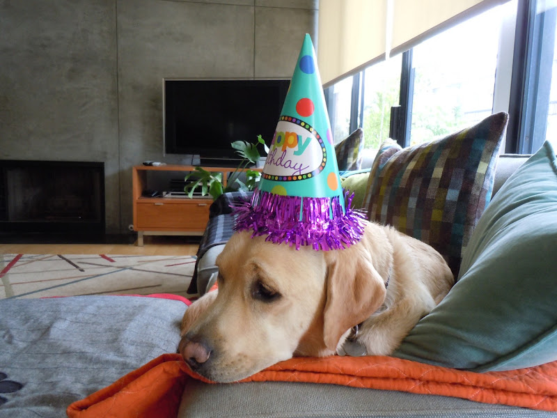 Happy 3rd Birthday Labrador Cooper