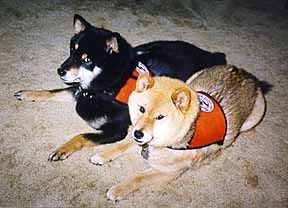 Hearing Dogs Takao and Tiki work in their matching ID Cape dog vests