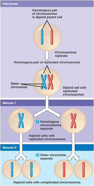 Understanding Williams Syndrome  Genetics