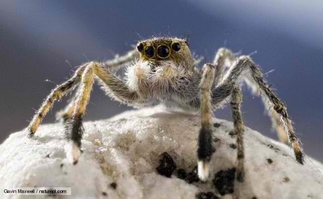 Everest's Euophrys Omnisuperstes (jumping spider)