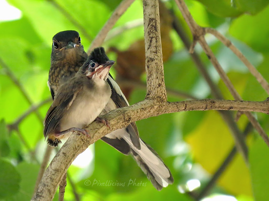 Female Robin Protecting the Baby Bulbul