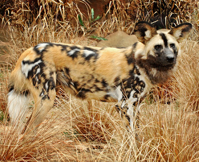 African Painted Wild Dogs