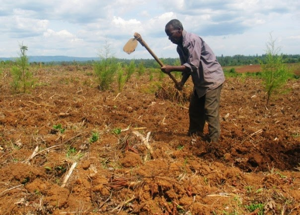 Farmer Isaac Ambani tends his land, also planted with young trees, near western Kenya's Kakamega forest. (Credit: TRF/Pius Sawa) Click to enlarge.