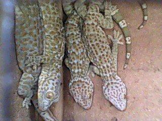 Gambar spesies tokek rumah