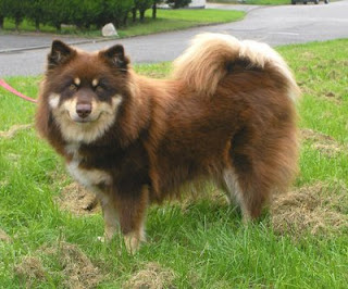 Infindigo Finnish Lapphunds The Grooming Of A Reluctant Lapphund Pt 1