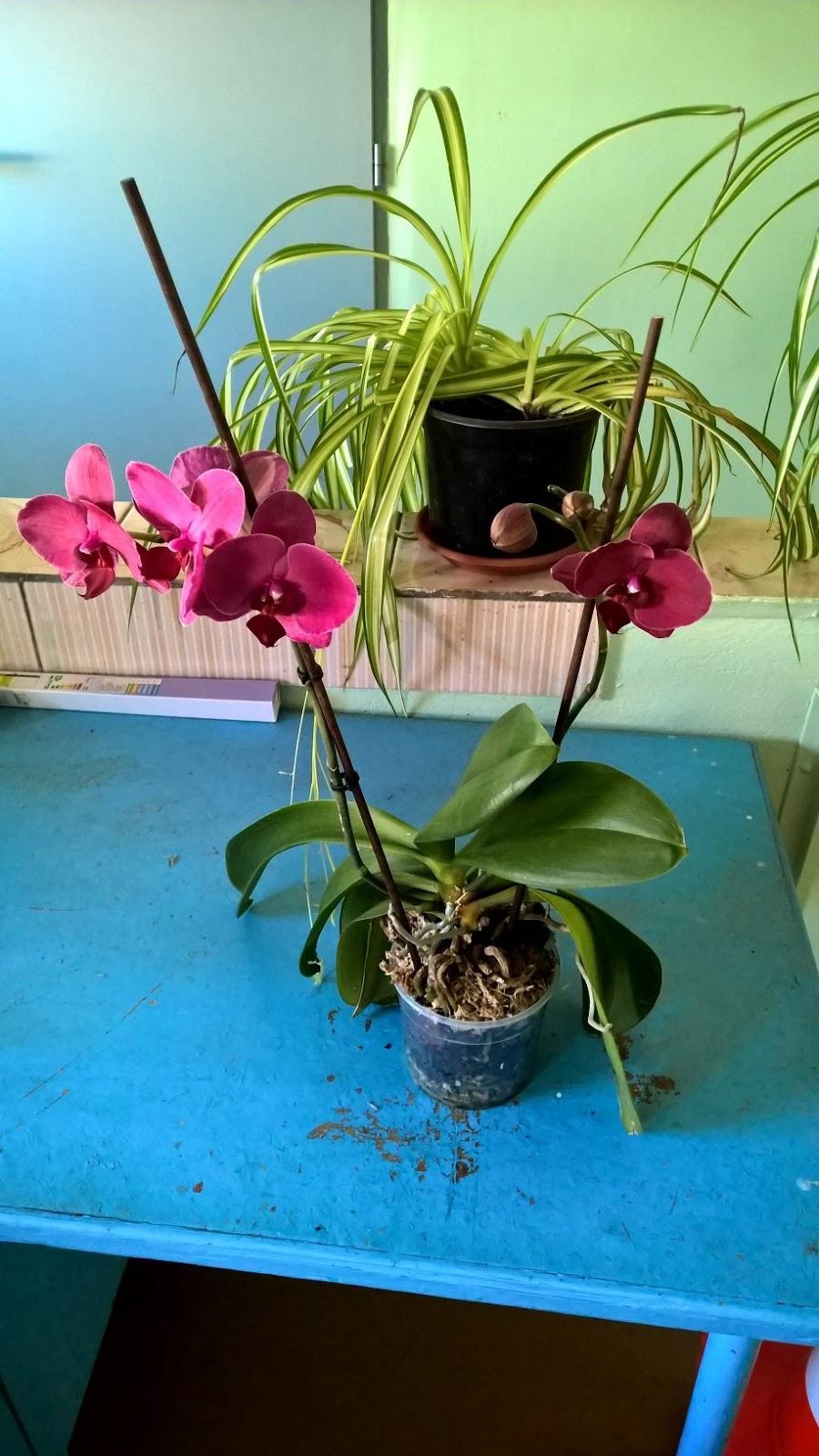 Les mains l 39 entretien des orchid es - Comment couper la tige d une orchidee apres floraison ...