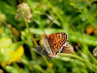 Anverso alar de la mariposa Melitaea cinxia