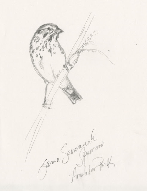 A Savannah Sparrow in a spring meadow at Armleder Park in Hamilton County Ohio (pencil sketch by Kelly Riccetti)