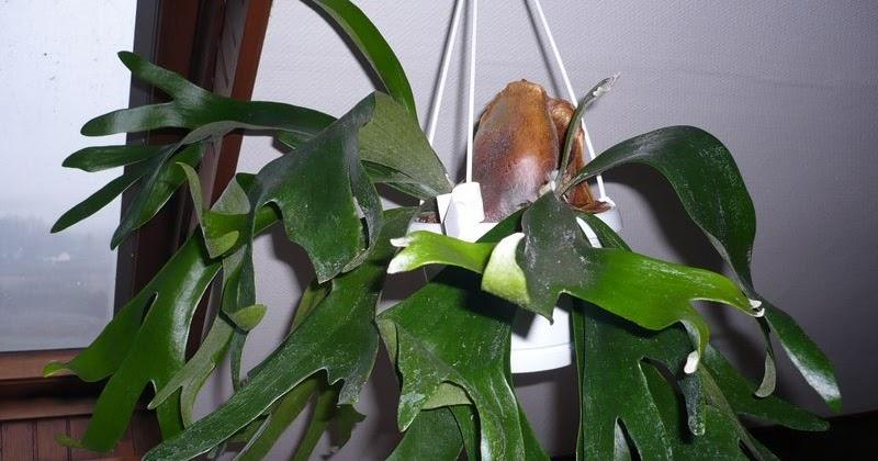 Plantain corne de cerf platycerium alcicorne flore de for Entretien jardin reunion