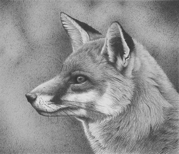 Kit fox drawing