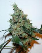 Cultiva tu marihuana!