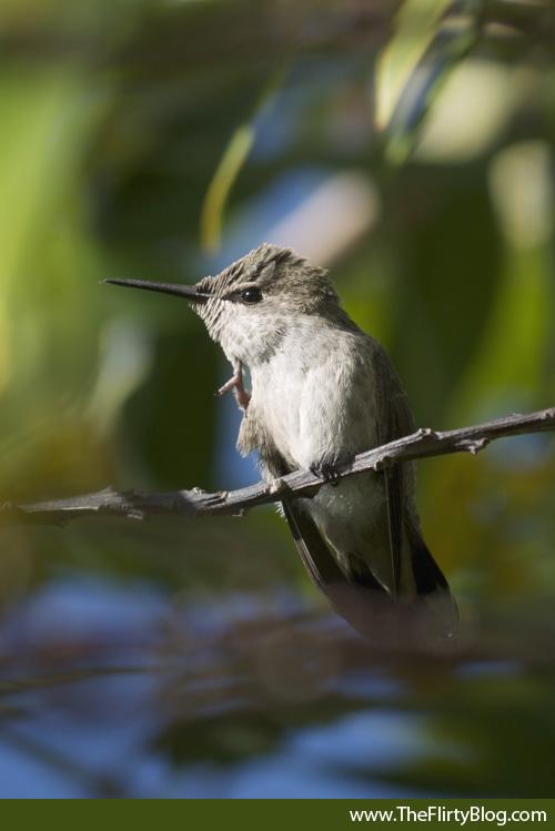 Scratching Baby Hummingbird