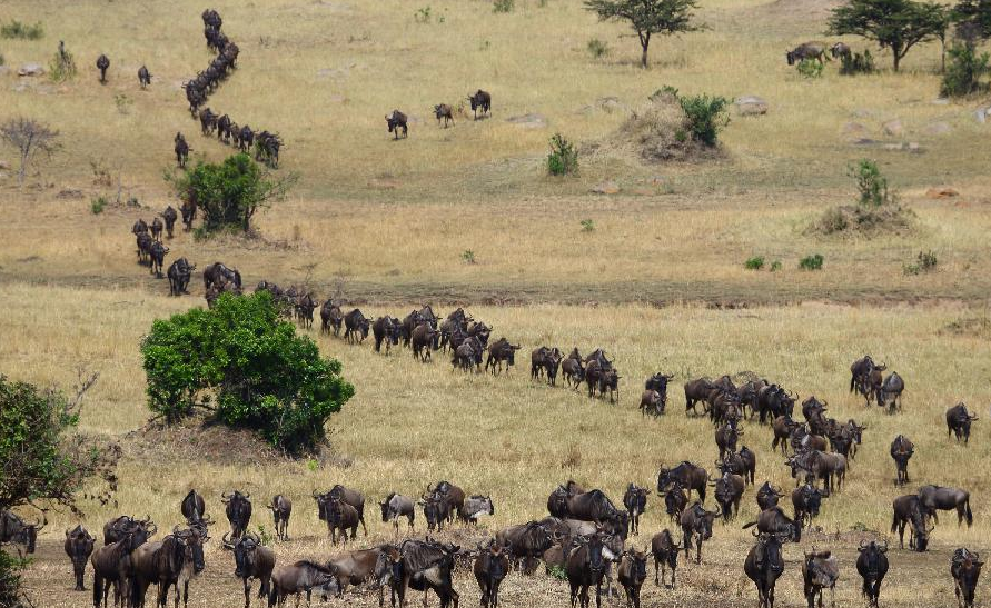 Migrating Animals in Africa