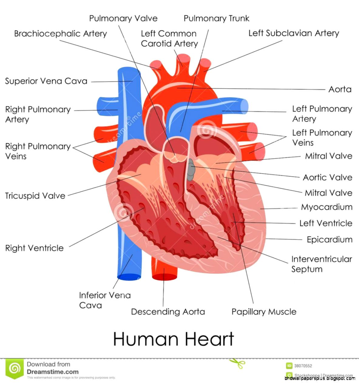 Human Heart Anatomy Stock Photography   Image 38070552