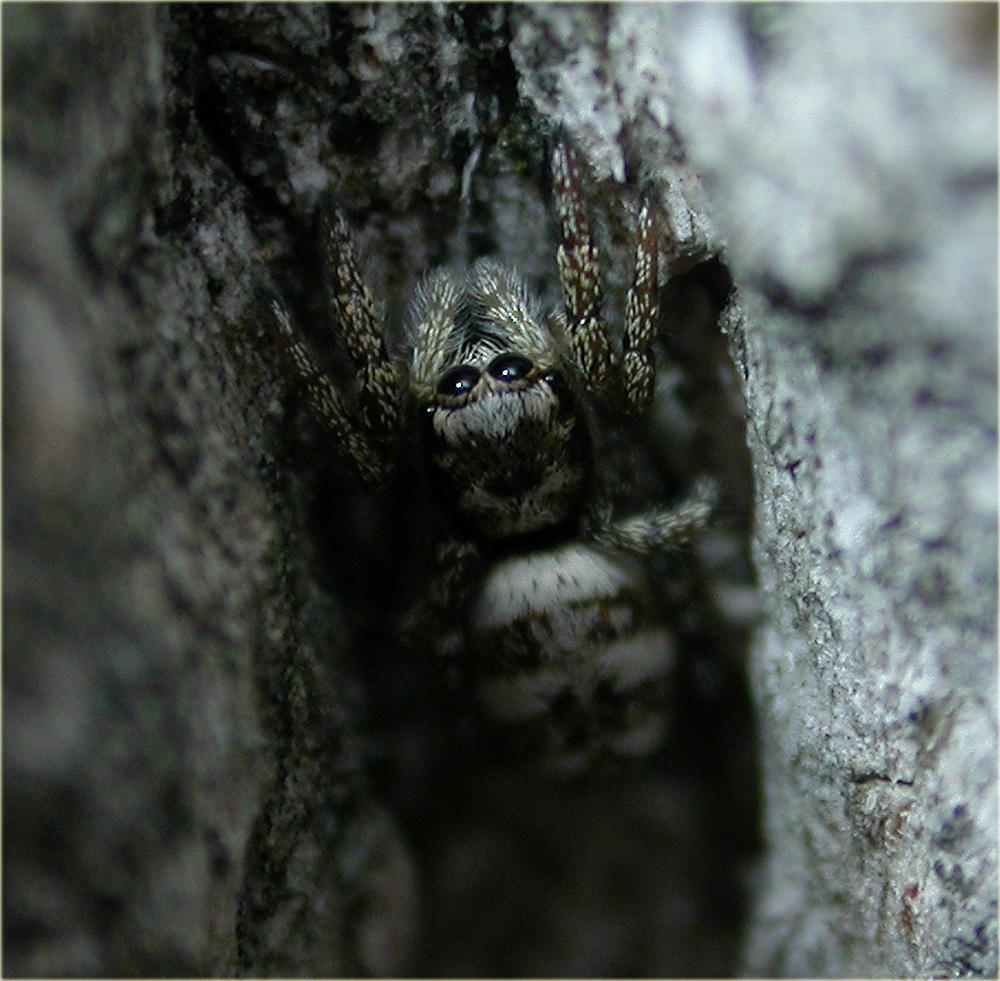 Arachnerds zebra jumping spider salticus scenicus for Extra mural cemetery brighton