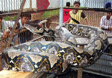 World's Largest Reticulated Python Snake, Indonesia