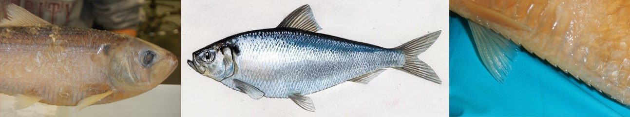 Jcu aquatic resources catch of the day the fish for What fish has eyelids