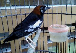 Burung Anis Kembang, Punglor Kembang