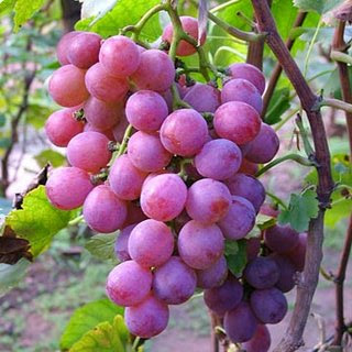 Luar biasa bukan, Itulah beberapa manfaat buah anggur untuk kesehatan ...